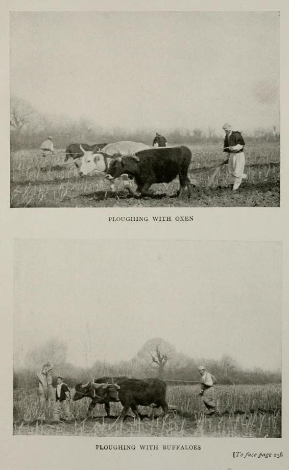 bujq duke plugu